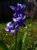 Giacinto - viola fotografie stock