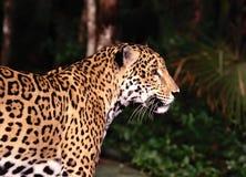Giaguaro Immagine Stock