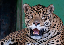 Giaguaro Immagini Stock