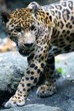 Giaguaro Fotografia Stock