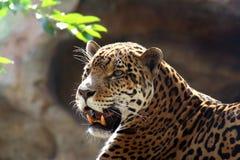 Giaguaro Immagine Stock Libera da Diritti
