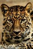 Giaguaro. Fotografie Stock Libere da Diritti