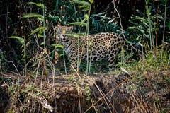 Giaguaro americano nell'habitat della natura del pantanal brasiliano Immagini Stock Libere da Diritti