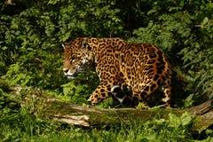 Giaguaro arduo immagine stock