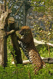 Giaguaro arduo fotografia stock libera da diritti