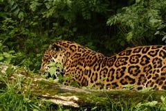 Giaguaro arduo immagini stock libere da diritti