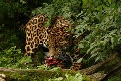 Giaguaro arduo fotografia stock