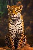 giaguaro di seduta Immagine Stock Libera da Diritti