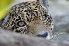 Giaguaro nascosto immagini stock libere da diritti