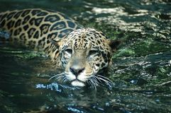 Giaguaro - onca del Panthera Immagine Stock Libera da Diritti
