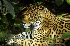 Giaguaro selvaggio Fotografie Stock