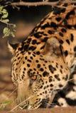 Giaguaro sudamericano Immagini Stock