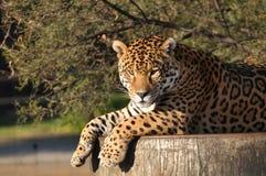 Giaguaro sudamericano in una sosta della fauna selvatica Immagini Stock Libere da Diritti