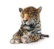 Giaguaro - vista frontale, isolata fotografie stock libere da diritti