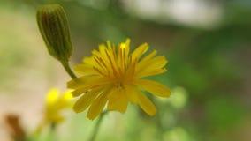 Gialla de Margherita - marguerite jaune Photos libres de droits
