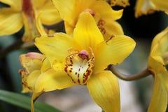 gialla orchidea Zdjęcie Royalty Free