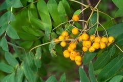 Giallo ashberry con le foglie Immagini Stock