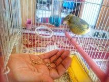 Giallo canarino dell'uccello fotografia stock libera da diritti