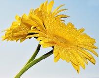 Giallo con giallo Immagine Stock