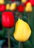 Giallo con i tulipani rossi Immagini Stock