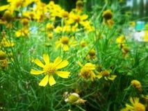 Giallo dei fiori fotografie stock libere da diritti