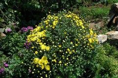 Giallo del crisantemo Fotografia Stock