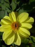 Giallo del fiore Immagini Stock Libere da Diritti