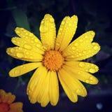 Giallo del fiore con rugiada Immagini Stock Libere da Diritti