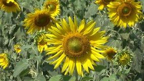 giallo del girasole del giardino video d archivio