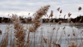 giallo del giunco sul lago congelato archivi video