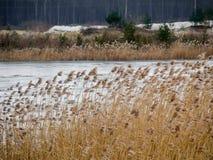 giallo del giunco sul lago congelato fotografia stock
