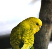 Giallo del pappagallo Immagine Stock
