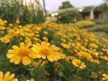 Giallo del petalo del fiore del fiore macro Fotografia Stock Libera da Diritti