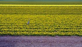 Giallo dell'airone sul campo del narciso Fotografie Stock Libere da Diritti
