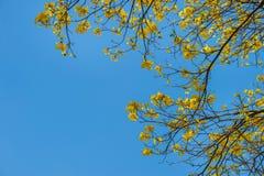 Giallo dell'albero su estate Fotografie Stock Libere da Diritti