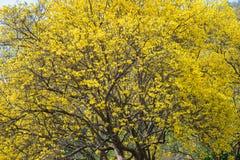 Giallo dell'albero su estate Immagini Stock