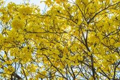 Giallo dell'albero su estate Fotografia Stock Libera da Diritti