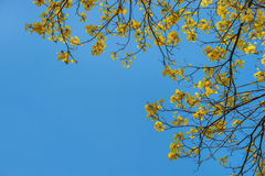 Giallo dell'albero su estate Fotografie Stock