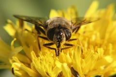 Giallo dell'ape Immagine Stock