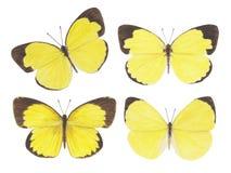 Giallo dell'erba della farfalla Fotografie Stock