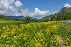 Giallo delle montagne del prato dei Wildflowers Fotografie Stock Libere da Diritti