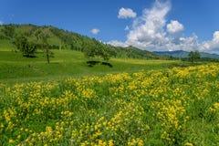 Giallo delle montagne del prato dei Wildflowers Immagine Stock Libera da Diritti