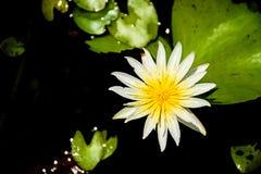 Giallo di Lotus Immagini Stock