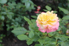 Giallo di Rosa con il rosa Fotografia Stock