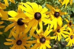 Giallo di Rudbeckia - fiore nero Immagini Stock Libere da Diritti