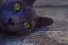 Giallo di sguardo dell'amico del gatto fotografie stock