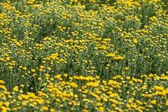 Giallo e fiori Immagine Stock