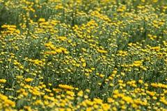 Giallo e fiori Fotografia Stock
