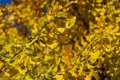 Giallo e foglie dell'oro dell'albero del ginkgo biloba contro il cielo blu Fogliame dorato come una nuvola gialla fertile immagine stock