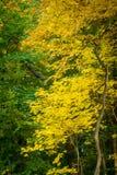 Giallo e foglie verdi nella foresta di autunno immagine stock